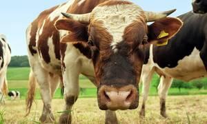 Φρίκη: Επίθεση μανιασμένου ταύρου σε άνθρωπο – Προσοχή, σκληρές εικόνες
