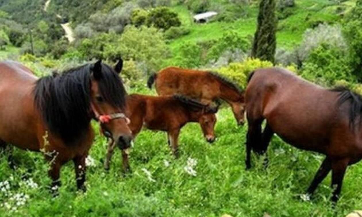 Το Γιοργαλίδικο άλογο της Κρήτης είναι η αρχαιότερη ράτσα στον κόσμο (pics+vid)
