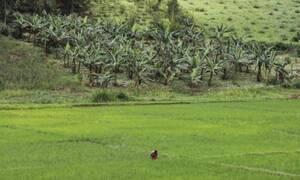 Παγκόσμια ανησυχία για τις μπανάνες: Γιατί μπορεί σύντομα να εξαφανιστούν