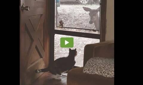Τρομερό! Ελάφι ζητάει την παρέα της γάτας (vid)