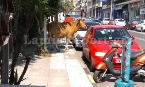 Αφηνιασμένος ταύρος έτρεχε στους δρόμους της Λαμίας (pics+vids)