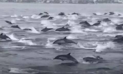 Υπερθέαμα με 100 δελφίνια να κολυμπούν μαζί (video)