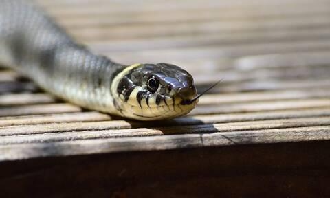 Τον δάγκωσε φίδι και εκείνος το έκανε... κομματάκια - Αντέχετε να το δείτε; (pics)