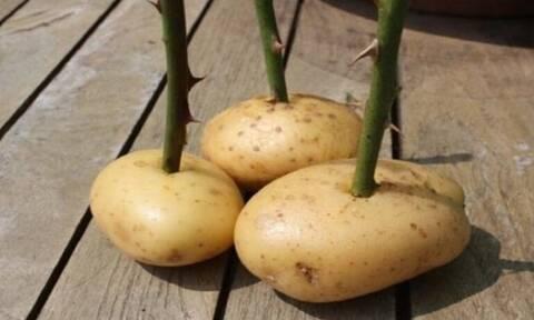 Βάζει ένα κομμένο τριαντάφυλλο μέσα σε πατάτα - Μόλις δείτε γιατί θα το κάνετε και εσείς! (video)