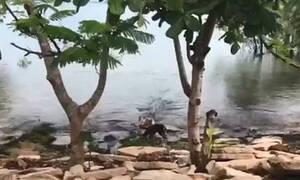Σοκαριστικό video: Κροκόδειλος αρπάζει σκύλο σε όχθη ποταμού (ΣΚΛΗΡΕΣ ΕΙΚΟΝΕΣ)