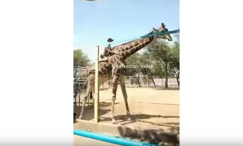 Viral video: Πήδηξε πάνω σε καμηλοπάρδαλη για να κάνει βόλτα!