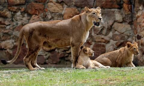 Σοκ στο Ζωολογικό Κήπο της Λειψίας: Λέαινα έφαγε τα λιονταράκια της