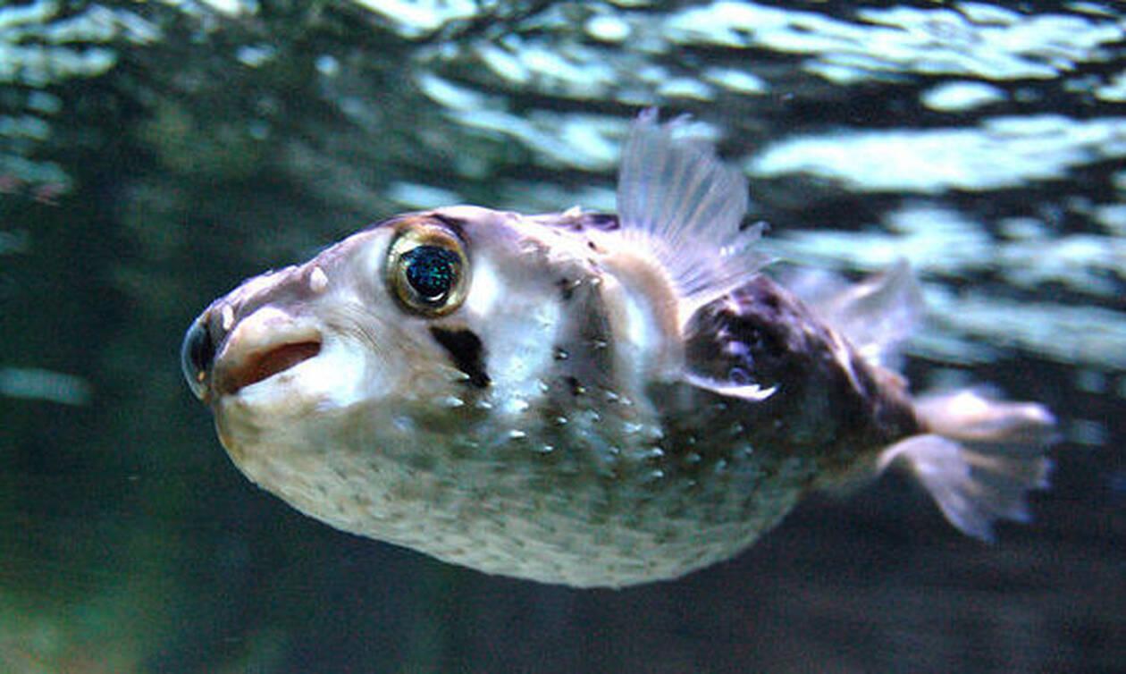 Внимание! В Греции ядовитые рыбы фугу появились на мелководье
