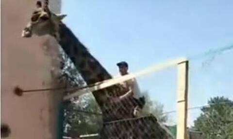 Μεθυσμένος άνδρας αποφάσισε να «ιππεύσει» καμηλοπάρδαλη και έγινε viral!