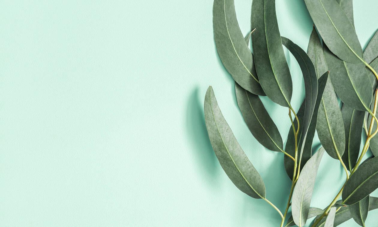 Φύλλα Ευκαλύπτου: Τα σημαντικά οφέλη τους για την υγεία (εικόνες)