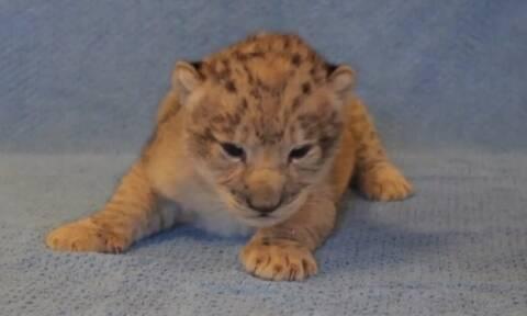 Ο Σίμπα ζει και είναι... θηλυκός! Η έμπευση για τον «Βασιλιά των Λιονταριών» (video)