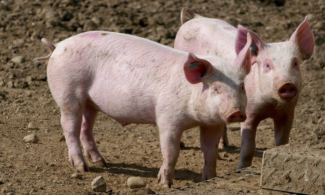 Φρίκη: Βρήκαν σπέρμα γουρουνιού σε σαμπουάν