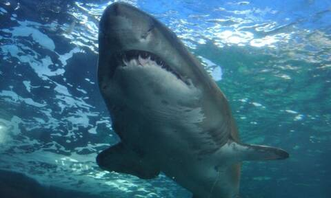 Σοκαριστικό video: Καρχαρίας κατασπαράζει φώκια και πλημμυρίζει με αίμα η θάλασσα!