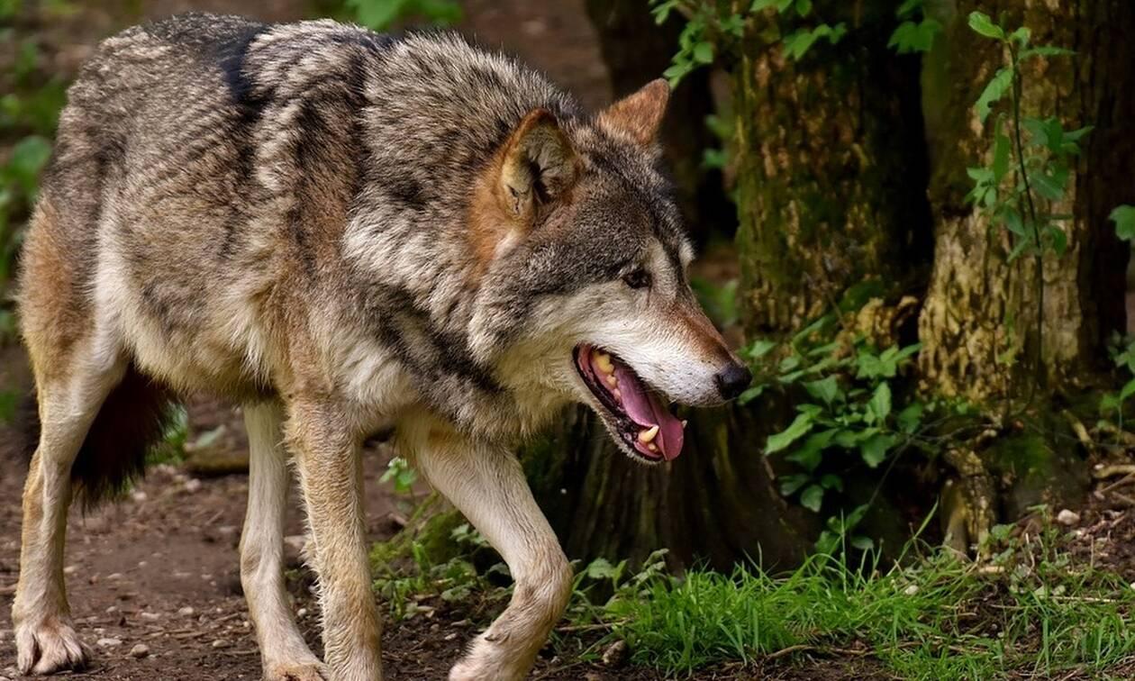 Αποκαλυπτική μελέτη: Οι λύκοι της Πάρνηθας εξελίσσονται σε απειλή για τους πληθυσμούς ελαφιών