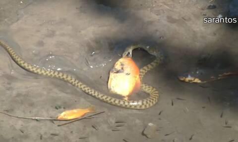 Τρομερό! Φίδι καταπίνει χρυσόψαρο στο νερό (vid)