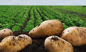 Τι συμβαίνει αν φάμε πράσινες πατάτες;