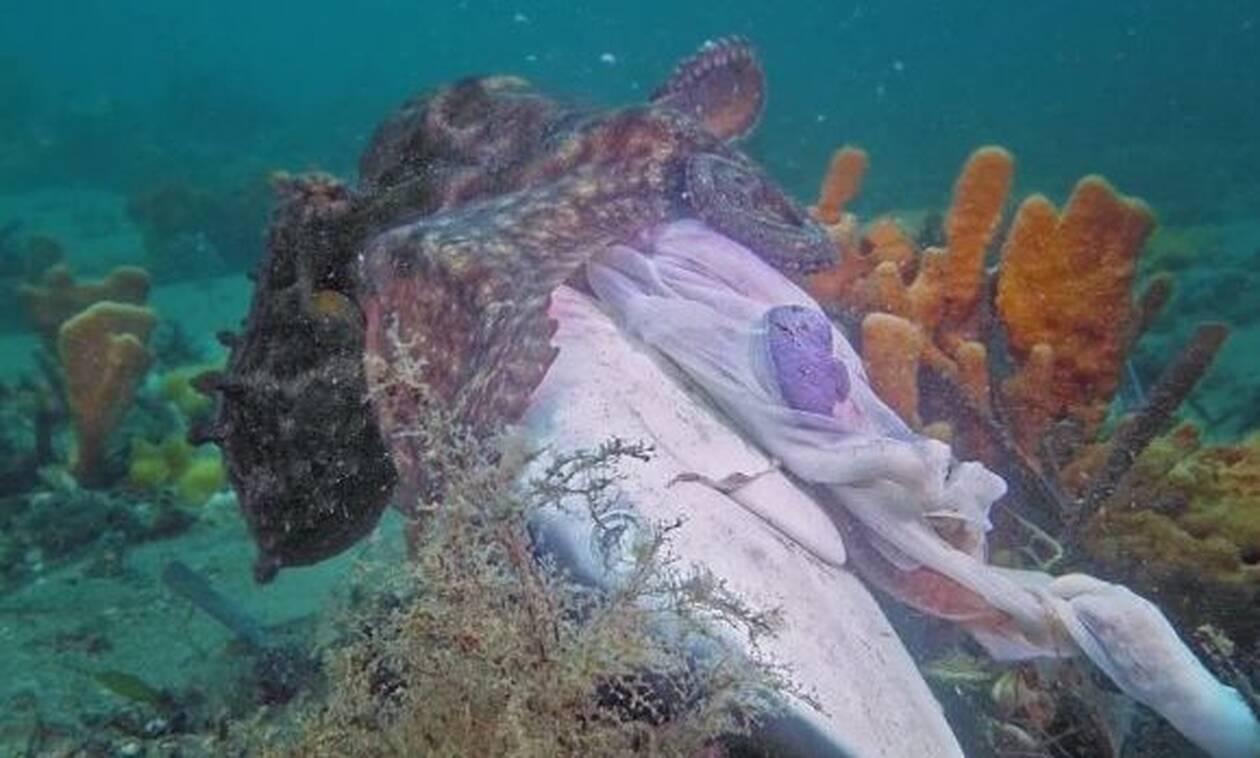 Χταπόδι-τέρας κατασπαράζει Καρχαρία με μανία!