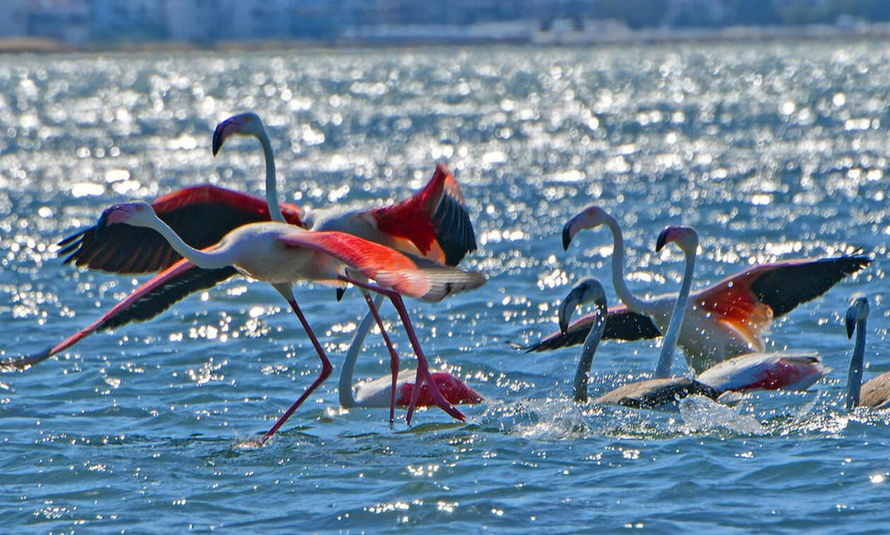 Υπέροχα φλαμίνγκο στο Ναύπλιο - Δείτε τις εικόνες