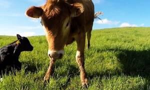Δείτε την αντίδραση της αγελάδας όταν πλησιάζουν το μικρό της! (vid)