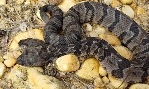 Τρομακτικό! Βρέθηκε δικέφαλο δηλητηριώδες φίδι! (pics)