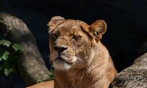 Φρίκη: Λιοντάρι επιτέθηκε σε 8χρονο την ώρα που έπαιζε στην αυλή του