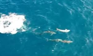 Δελφίνια επιτίθενται σε κοπάδι από σαρδέλες – Εντυπωσιακό βίντεο από drone (vid)