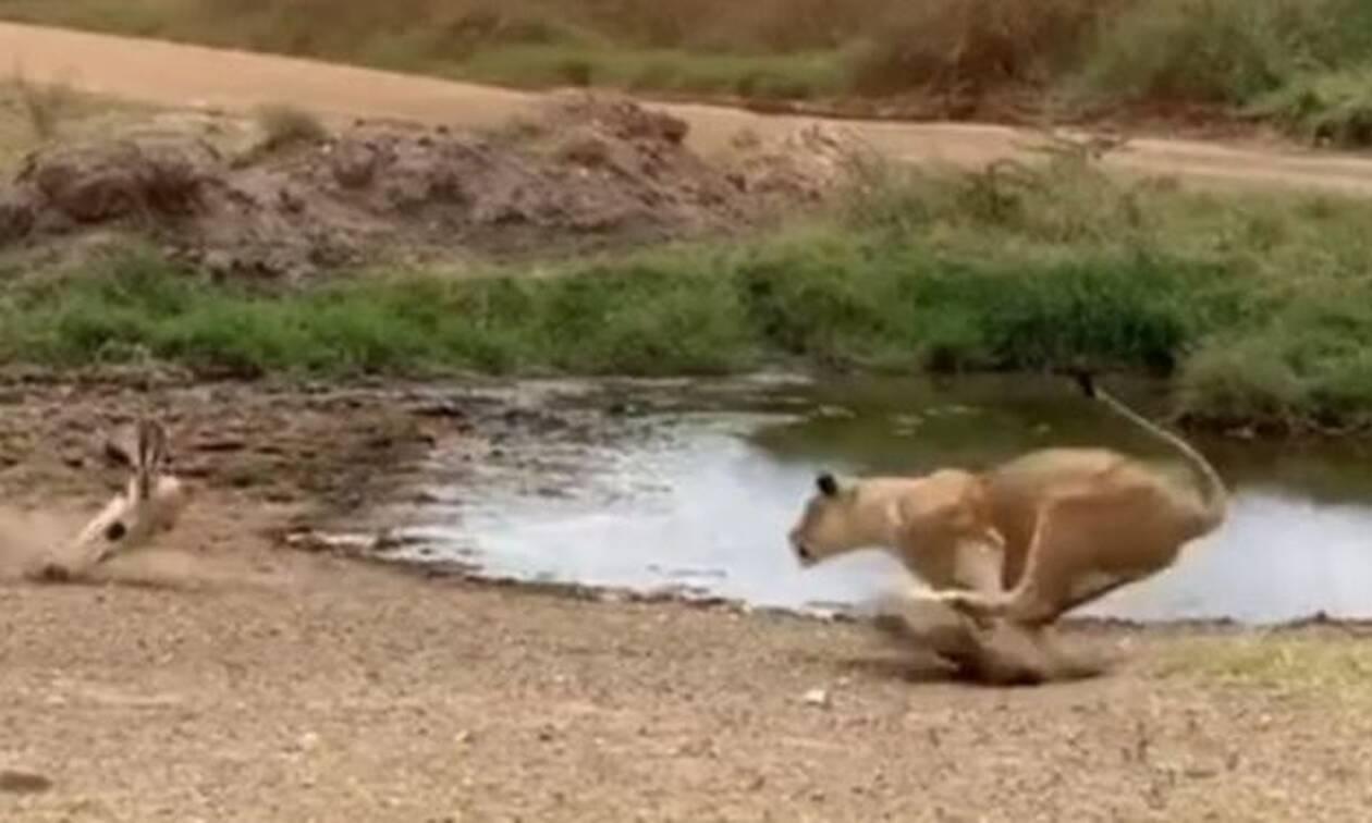 Χαζούλικο λιοντάρι ορμάει σε αντιλόπη και γίνεται… Βέγγος! (vid)