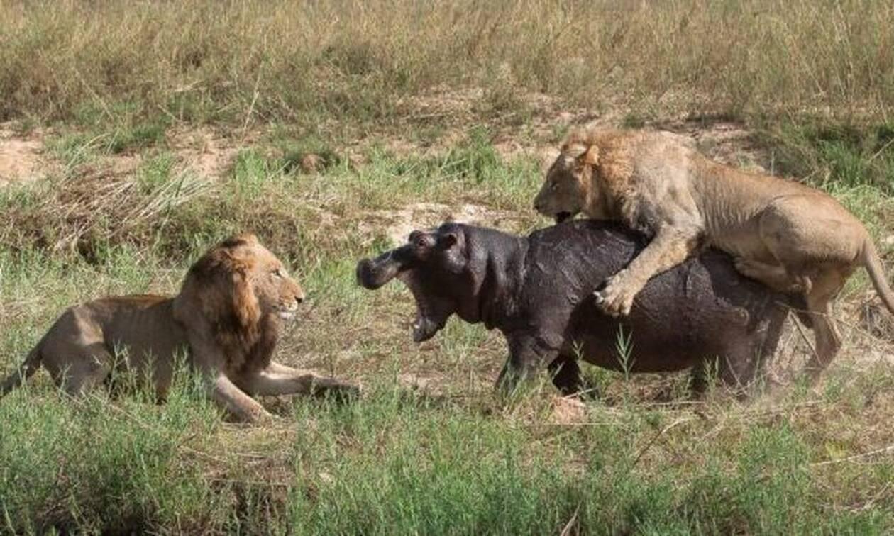 Πέντε λιοντάρια κάνουν «ντου» αλλά ο ιπποπόταμος δεν είχε πει την τελευταία του λέξη… (vid)