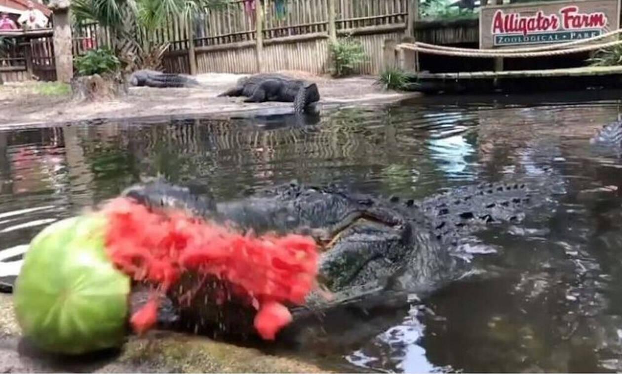 Δεν κάνουμε πλάκα: Αυτός ο αλιγάτορας είναι βίγκαν! (vid)