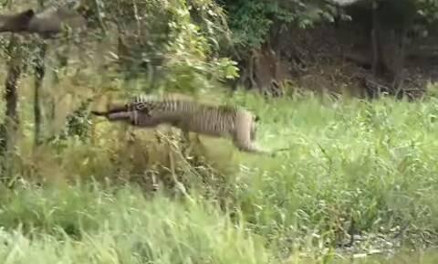 Άγρια επίθεση τζάγκουαρ σε κροκόδειλο - Ακολούθησε μεγάλη μάχη (vid)