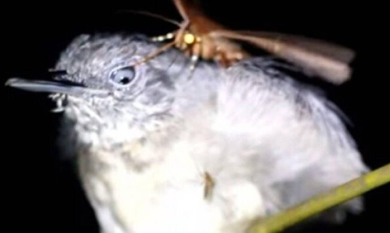 Σκόρος τρέφεται με δάκρυα πουλιού τη στιγμή που κοιμάται (video)