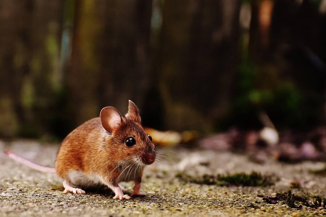 Ερευνητές έμαθαν σε ποντίκια να παίζουν κρυφτό