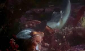 Εικόνες που σοκάρουν! Καρχαρίας πλησιάζει χταπόδι και εκείνο τον κατασπαράζει (video)
