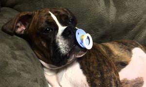 Αυτός ο σκύλος έβαλε πιπίλα στο στόμα του - Δείτε τι γίνεται στη συνέχεια (vid)
