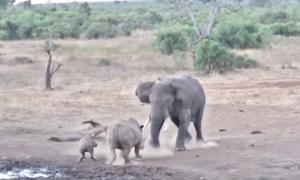 Ρινόκερος προκαλεί ελέφαντα και το μετανιώνει πικρά! Δείτε το βίντεο