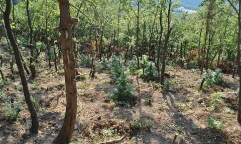 Λαμία: Δύο στρέμματα με δενδρύλλια χασίς σε απόκρημνη περιοχή εντόπισε η αστυνομία (pics)