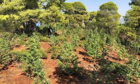 Ρέθυμνο: Εντοπίστηκε «δάσος» από κάνναβη στο Μυλοπόταμο