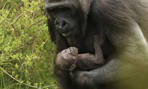 Οι φωτογραφίες αυτού του θηλυκού γορίλα και του μωρού της έγιναν viral (pics)