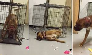 Σκύλαρος πραγματικός! Δείτε πώς βγήκε μέσα από το κλουβί! (vid)