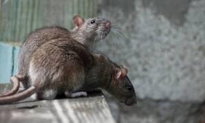 Κύπρος: Σοβαρό πρόβλημα με τα ποντίκια - Οι κίνδυνοι που ελλοχεύουν