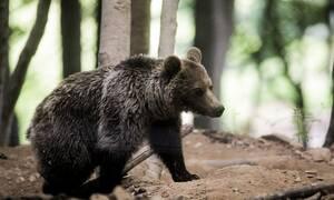 Αναστάτωση στη Φλώρινα: Αρκούδα κινείται κοντά σε κατοικημένη περιοχή