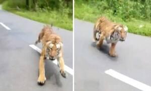 Ακούστε την κραυγή του όταν βλέπει την τίγρη να ορμάει! (vid)