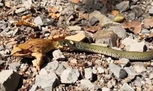 Σκληρή μάχη: Βάτραχος προσπαθεί να ξεφύγει από φίδι - Η συνέχεια θα σας σοκάρει (pics+vid)
