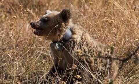Επιχείρηση απεγκλωβισμού αρκούδας στην Καλαμπάκα