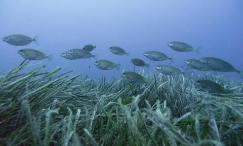 Εισβολή ξενικών ψαριών στο Αιγαίο: Ποια είναι τοξικά και επικίνδυνα