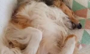 Σκύλος κοιμάται και… τραγουδάει στον ύπνο του! (vid)