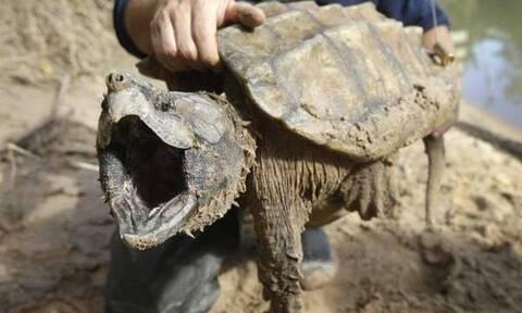 Η χελώνα - δολοφόνος που ανταγωνίζεται σε δύναμη τα πιτ μπουλ! (vid)