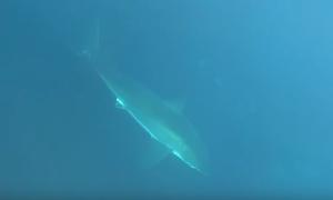 Απίστευτο βίντεο: Γενναίος ψαροντουφεκάς κατατροπώνει λευκό καρχαρία (video)