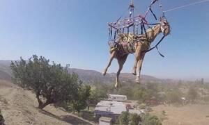Πετάει ο γάιδαρος; Δείτε το απίθανο βίντεο!