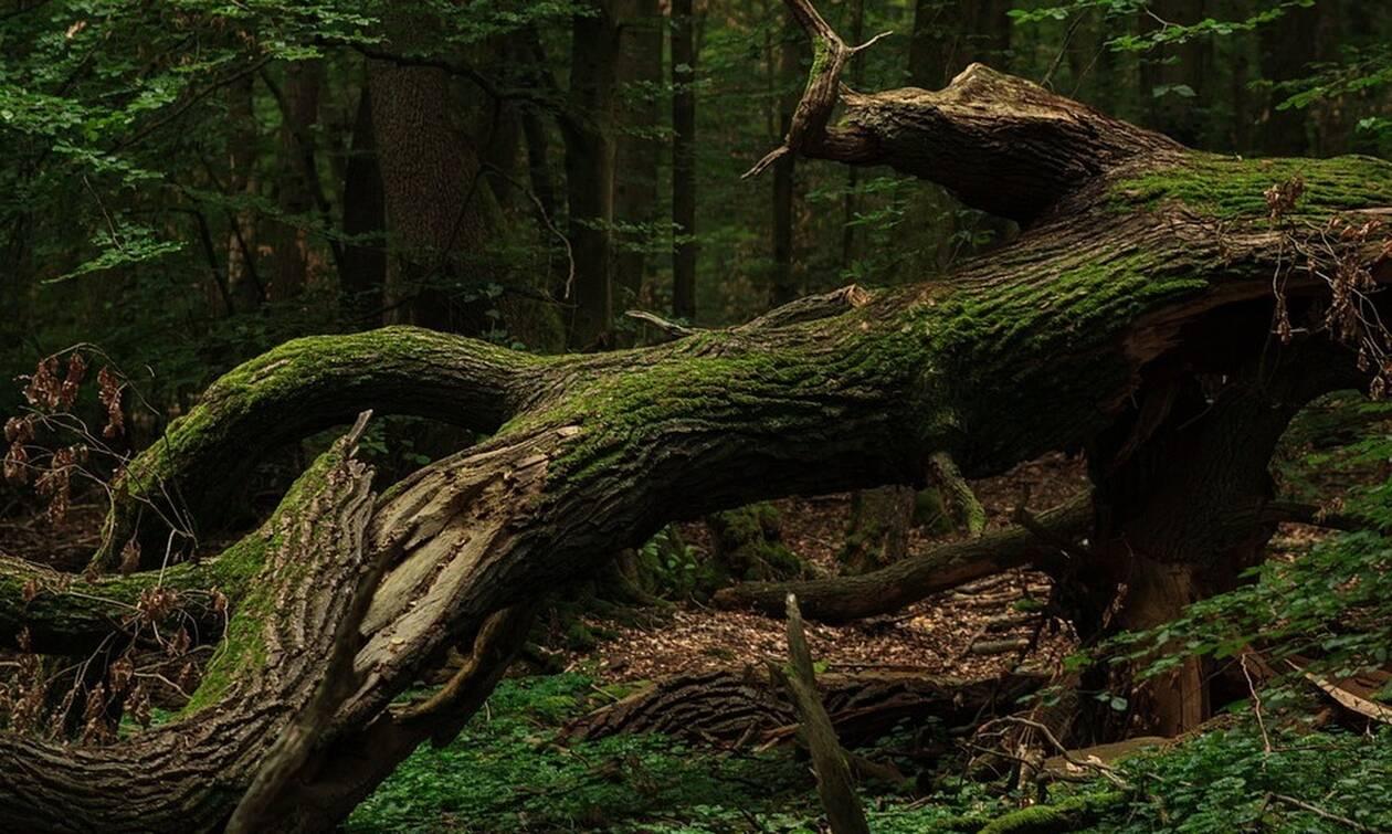 Τραγωδία στην Άμφισσα: Άφησε την τελευταία του πνοή κόβοντας ξύλα